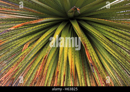 Puya Raimondi bromelia close - Stock Photo