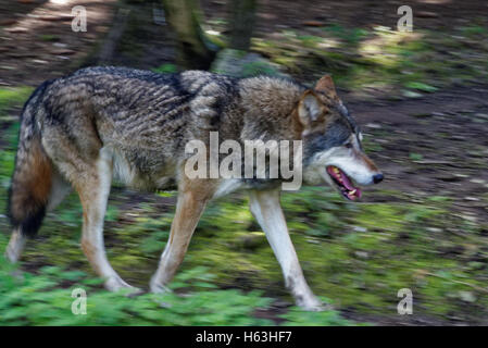 Gray wolf or grey wolf (Canis lupus), also known as the timber wolf or western wolf. - Stock Photo