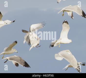 Seagulls(Larus canus) fighting in flight. - Stock Photo