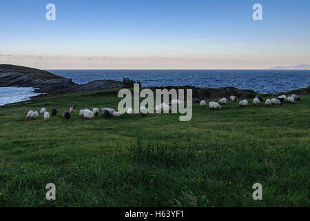 A flock of sheep grazing on the hill. Oriñon, Cantabria, Spain, Europe. - Stock Photo