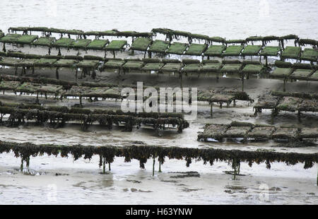 Oyster Farming in the Camel Estuary, Cornwall, England, UK - Stock Photo