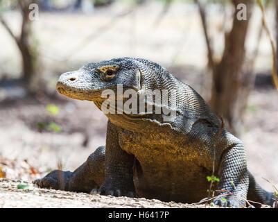 Komodo dragon (Varanus komodoensis). - Stock Photo