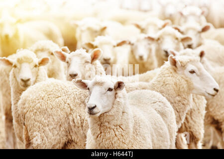 Livestock farm, flock of sheep - Stock Photo