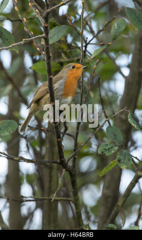 European Robin (Erithacus rubecula) perched in a small tree - Stock Photo