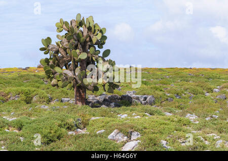 Ecuador, Galapagos, a Galapagos prickly pear, Opuntia echios, stands between a carpet of Galapagos Shoreline Purslane - Stock Photo