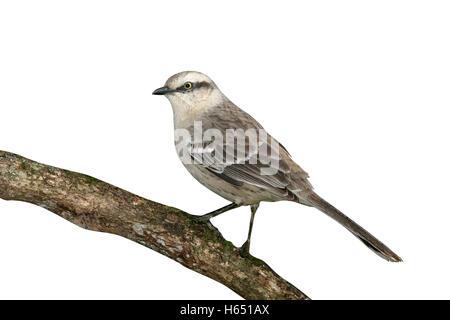 Chalk-browed mockingbird, Mimus saturninus, single bird on branch, Brazil - Stock Photo