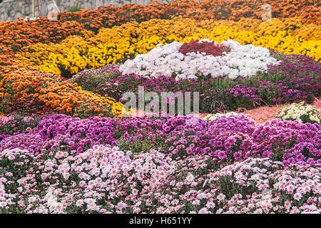 Autumn Chrysanthemum Exhibition in Kiev, Ukraine, 2016. - Stock Photo