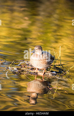 Glasgow, Scotland, UK. 25th October, 2016. UK Weather: Ducks in the Queen's Park pond bathing in the morning autumn - Stock Photo