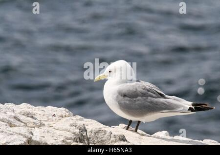 Single Kittiwake bird standing on a rock with grey sea in the background - Stock Photo