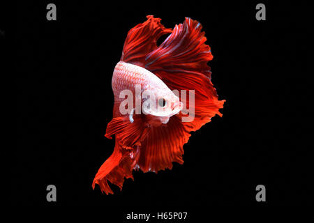 Betta fish or Siamese fighting fish on black background - Stock Photo