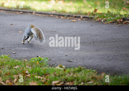 Back of a grey/gray squirrel jumping on a path in a park in autumn - Stock Photo