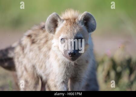 Young hyena on safari in Masai Mara, Kenya. - Stock Photo