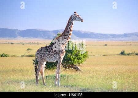Giraffe on the savannah on safari in Masai Mara, Kenya. - Stock Photo