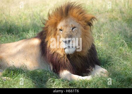 Wild male lion on safari in Masai Mara, Kenya. - Stock Photo