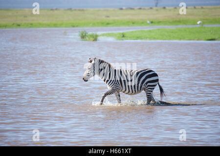 Zebra crossing a river on safari in Lake Nakuru National Park, Kenya. - Stock Photo