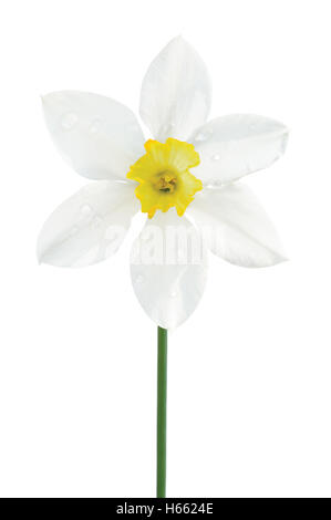 White daffodil narcissus L. blooming flower, yellow amaryllis jonquil stamen, bright isolated macro closeup studio - Stock Photo