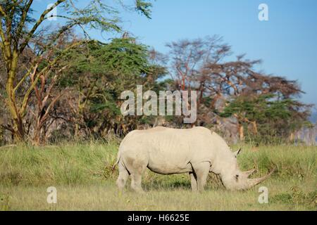 An endangered white rhino viewed on safari in Lake Nakuru, Kenya - Stock Photo