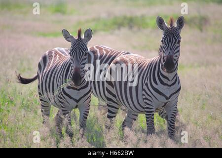 A pair of zebra grazing on safari in Amboseli National Park, Kenya. - Stock Photo