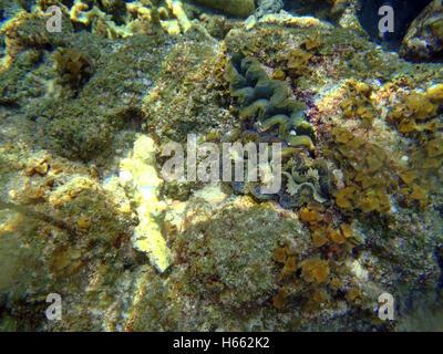 Big clam Tridacna on the Thailand beach undersea - Stock Photo