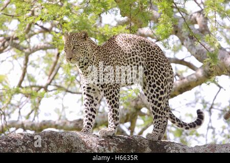 Viewing leopard on safari in Serengeti National Park, Tanzania. - Stock Photo