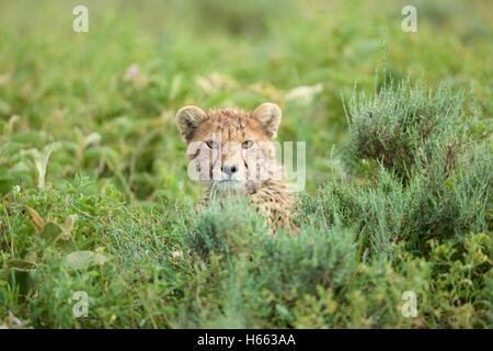 Viewing cheetah on safari in Serengeti National Park, Tanzania. - Stock Photo