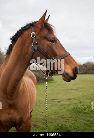 Brown horse with head turned, showing head and part of upper body - Stock Photo