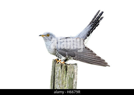 Cuckoo, Cuculus canorus, single bird on post, Midlands, April 2011 - Stock Photo