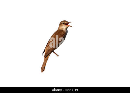Great-reed warbler, Acrocephalus arundinaceus, single bird on reed singing, Bulgaria, May 2013 - Stock Photo