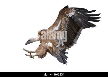 Eurasian griffon vulture, Gyps fulvus, flight, Spain, winter - Stock Photo