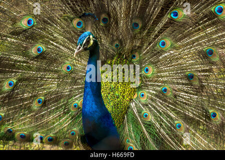 Lovely Indian Peacock bird with open feathers plumage at Kolkata zoo. - Stock Photo