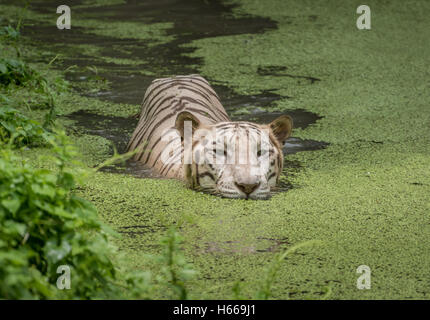 White tiger swims in the water of a marshy swamp. White Bengal tigers are considered as endangered species. - Stock Photo