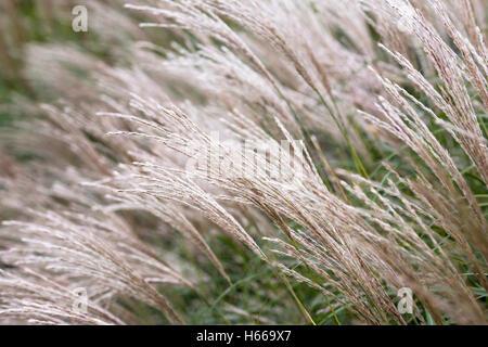 Miscanthus grass in Aurumn. - Stock Photo