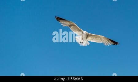 Single seagull in flight against blue sky - Stock Photo
