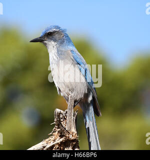 scrub jay close-up - Stock Photo