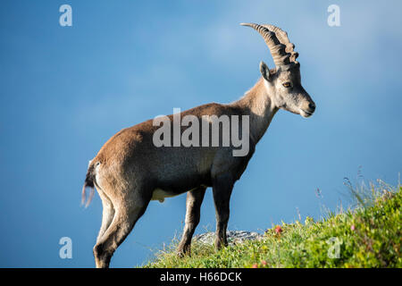 Male ibex in the Chamonix Valley, Haute Savoie, French Alps, France. - Stock Photo