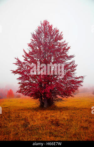 Autumn red tree in the morning fog.Beautiful fall rural landscape - Stock Photo