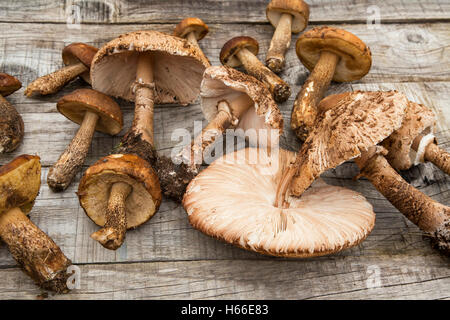Edible forest mushrooms on wooden background.Boletus edulis and Macrolepiota procera - Stock Photo