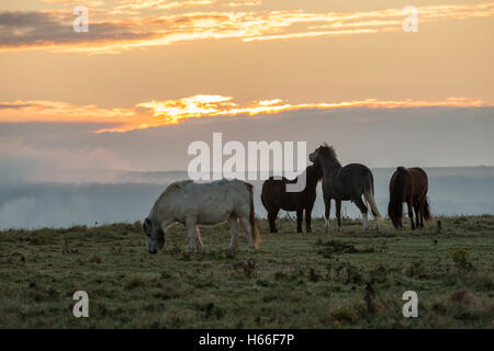 Ponies grazing on the South Downs at sunrise, East Sussex, England. - Stock Photo