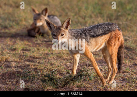 Pair of black-backed jackal Canis mesomelas one standing and one laying down, early morning light, Laikipia Kenya - Stock Photo