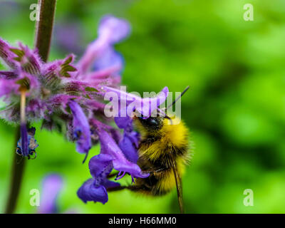 Bee in a lavender flower - Stock Photo