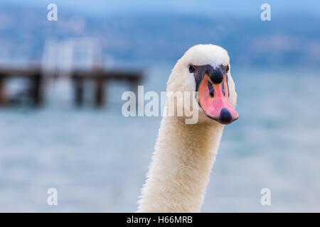 A swan, head and neck viewed from the front with a lake and wharf in the blurred  background - Stock Photo