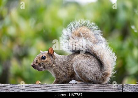 Eastern Gray Squirrel - sciurus carolinensis - Stock Photo