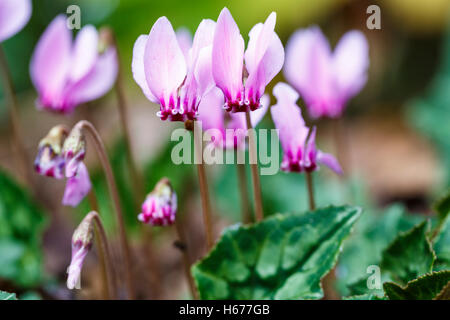 Pretty pink autumn-flowering cyclamen hederifolium (ivy-leaved cyclamen) Stock Photo