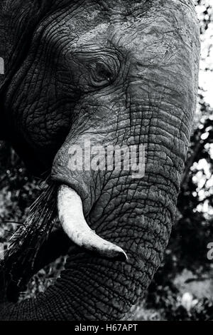 Elephant up close and hungry - Stock Photo