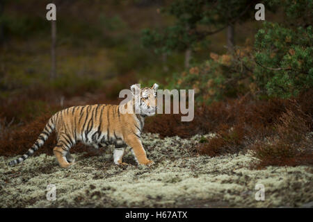 Royal Bengal Tiger / Koenigstiger ( Panthera tigris ) in natural surrounding on a clearing in the woods, watching - Stock Photo