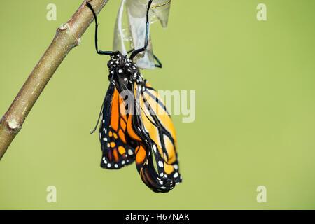 Monarch butterfly (danaus plexippus) emerging from the chrysalis - Stock Photo