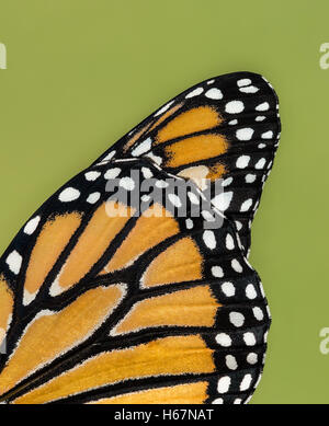 Closeup details of Monarch butterfly (danaus plexippus) wing against natural green background - Stock Photo