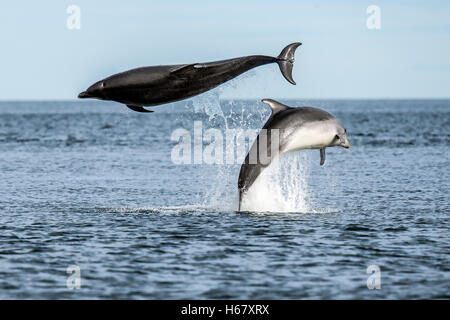 Bottlenose dolphins breaching from the water, Moray Firth, Scotland - Stock Photo