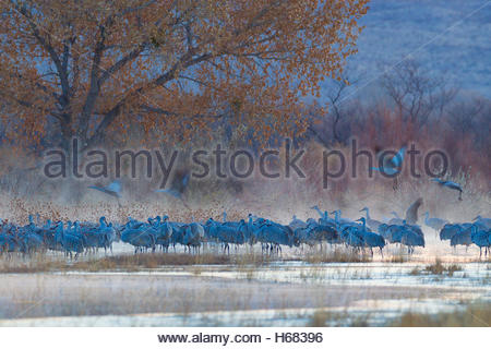 Dozens of sandhill cranes (Grus canadensis) rest on a foggy pond in the Bosque del Apache National Wildlife Refuge - Stock Photo