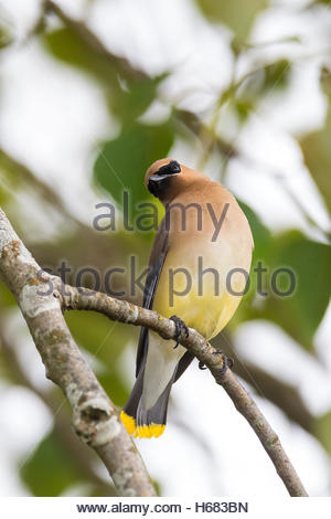 A Cedar Waxwing (Bombycilla cedrorum) stretches on its perch in a tree on Smith Island, Everett, Washington. - Stock Photo